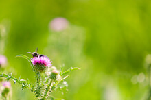 On Flower Of Medicinal Plant Thistle (or Cаrduus Acanthoides,  Hedgehog, Red-headed Thistle, Prickly Burr, Bluehead, Thistle, Silver Tartar, Milk Jug) Two Insects Sit. Selective Focus, Close-up.
