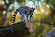 Ring Tailed Lemur Catta