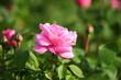 Różowy kwiat róży. Róże w ogrodzie