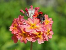 Bees Pollinating Pink Primroses
