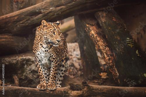 Fényképezés leopard resting on the rock