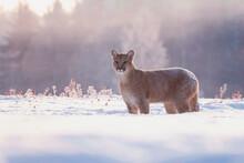 American Cougar In Winter