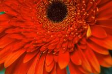 Red Gerbera In A Bouquet Close-up