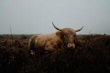 Portrait Highland Cow In Field, Peak District National Park, England
