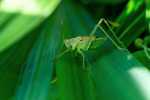 Female Nymph Of A Great Green Bush Cricket Sitting On Leaf. Long Horned Grasshoppers Insect Tettigonia Viridissima. Large Species Of Katydid Or Bush-cricket. Scientific Tettigoniidae