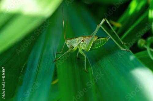 Fotografie, Obraz Female Nymph of a great green bush cricket sitting on leaf