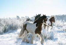 Beautiful Wild Horses In Snow