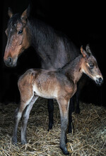 Beautiful Brown Horse Mare And Foal In Barn