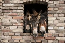 Portrait Three Donkeys In Brick Window