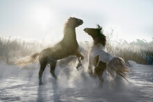 Playful Horses Rearing Up In Sunny Snowy Winter Field