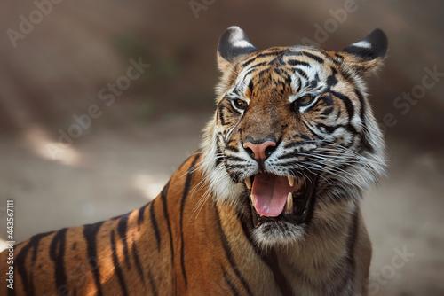 portrait of a tiger Fotobehang