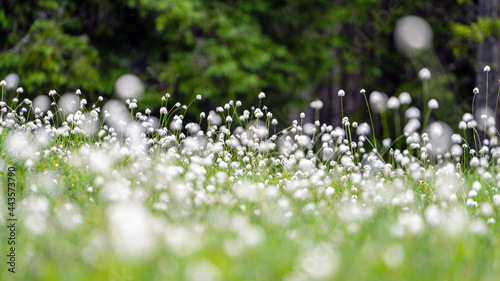a meadow on the moutains in a high moor with the beautiful eriophorum flowers in summer
