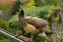 Female Peacock Or Peahen Roosting