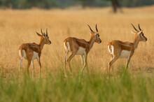 Blackbuck Or Antilope Cervicapra Or Indian Antelope Herd Or Group Walking Together In Pattern In Grassland Of Tal Chhapar Sanctuary Churu Rajasthan India