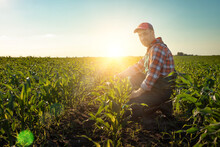 Middle Age Male Caucasian Maize Farmer Kneeled For Inspection Corn Stalks
