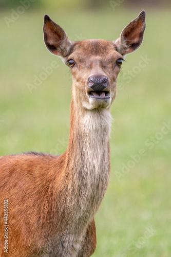 Fototapeta Puzzled red deer staring at camera