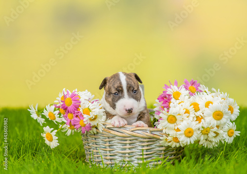 Fotografering Miniature Bull Terrier puppy sits inside a basket with chamomiles on green summe