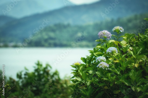 Fotografia 滋賀県長浜市、余呉湖のアジサイ園に咲く紫陽花と初夏の風景