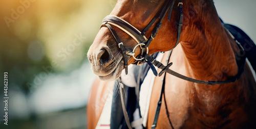 Nose sports red horse in the bridle. Dressage horse. Tapéta, Fotótapéta