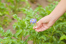 Young Adult Woman Hand Showing Purple Blue Flowers Of Potato Plant At Garden. Closeup. Blooming Time.