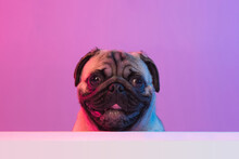 Portrait Of Purebred Pug-dog Isolated Over Gradient Purple Pink Background In Neon Light.