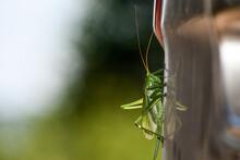Green Grasshopper Close Up. The Green Tetigonia Grasshopper Rests On A Vertical Reflective Surface.