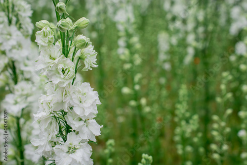 Canvas Field of colourful delphinium flowers in Wick, Pershore, Worcestershire, UK