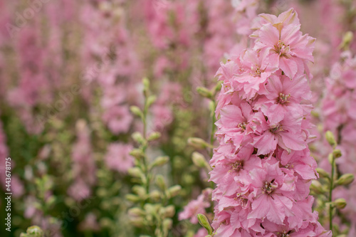 Field of colourful delphinium flowers in Wick, Pershore, Worcestershire, UK Fotobehang