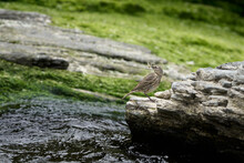 A Rock Pipit On The Coast Line