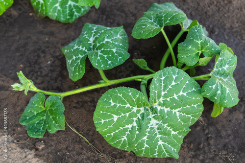 Fotografia Zucchini bush growing in a greenhouse after watering