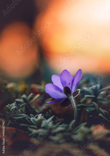 Canvas Macro of a single tiny spring anemone flower in between other flowers