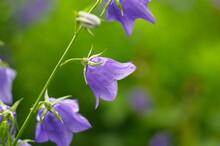 Purple Bell Flower In Full Blooming