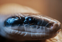 Snake Eye Close-up, Macro Photo Of Python Snake At The Zoo Terrarium, Reptile Head Close-up Shot