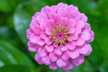 Looking Straight Down On A Pink Zinnia Bloom