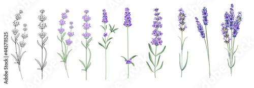 Fotografiet Set of differents lavender on white background