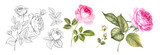 Set of differents roses on white background. Watercolor, line art, outline illustration.