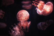 Spotted Jellyfish Phyllorhiza Punctate In Dark Water With Sunlight As Underwater Background