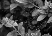 Spider Web With Dew Drops And Leaves