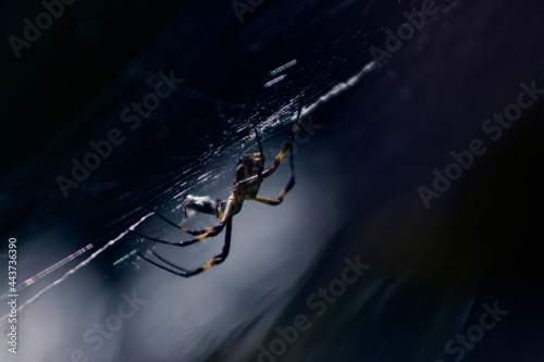 spider Fototapet