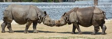 Loving Style A Confrontation Between Two White Rhino