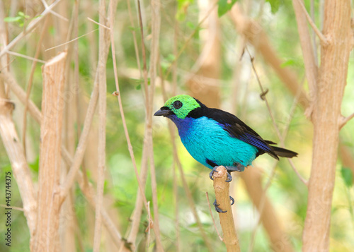 Carta da parati One vibrant Paradise Tanager, a brilliantly multicolored, medium-sized songbird perched on barren tree branches
