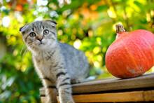Kitten And Pumpkin. Autumn Mood. Scottish Fold Tabby Kitten And Hokkaido Pumpkin In Autumn Garden In Sunbeams.Pets. Autumn Season. Autumn Mood.