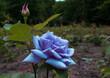 Niebieska róża, kwiat, ogród