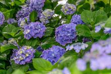 性海寺の紫陽花