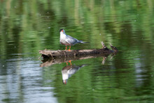 Sterna Hirundo Sit On The Wood In River. Common Tern Sit On Mirrod Lake, Spring And Summer Scene