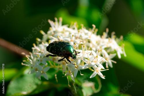 Canvas-taulu Cetonia aurata beetle sit on small white flower