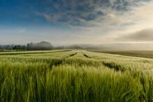 Getreidefeld Im Morgennebel, Singen, Landkreis Konstanz, Bodenseeregion, Baden-Württemberg, Deutschland