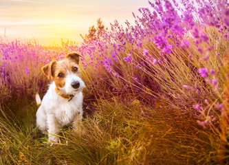 Cute happy jack russell terrier pet dog puppy sitting, listening in the grass with purple lavender flowers in summer, summertime