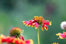 Gaillardia Aristata Or Red Yellow Flower In Bloom, Common Blanket Flower Flowering Plant, Group Of Beautiful Wild Flowers, Flower Background