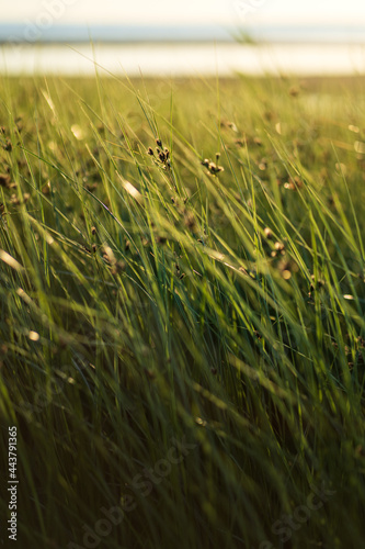 Obraz na plátně Fresh green coastal grass sedge with lush long leaves moving by wind on the beach over sunset sky